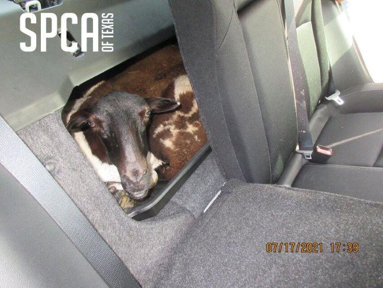 고온의 차 트렁크에서 구조된 5마리 양 중 1마리는 사망했다. (사진 출처: SPCA of Texas)